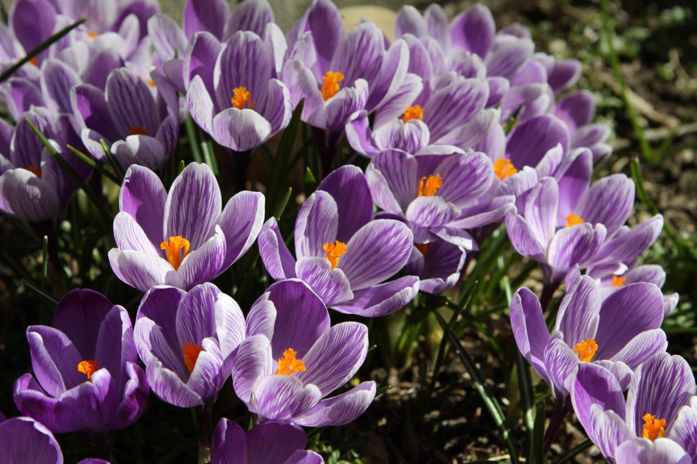 Krokus-Blumen im Garten richtig anpflanzen und pflegen
