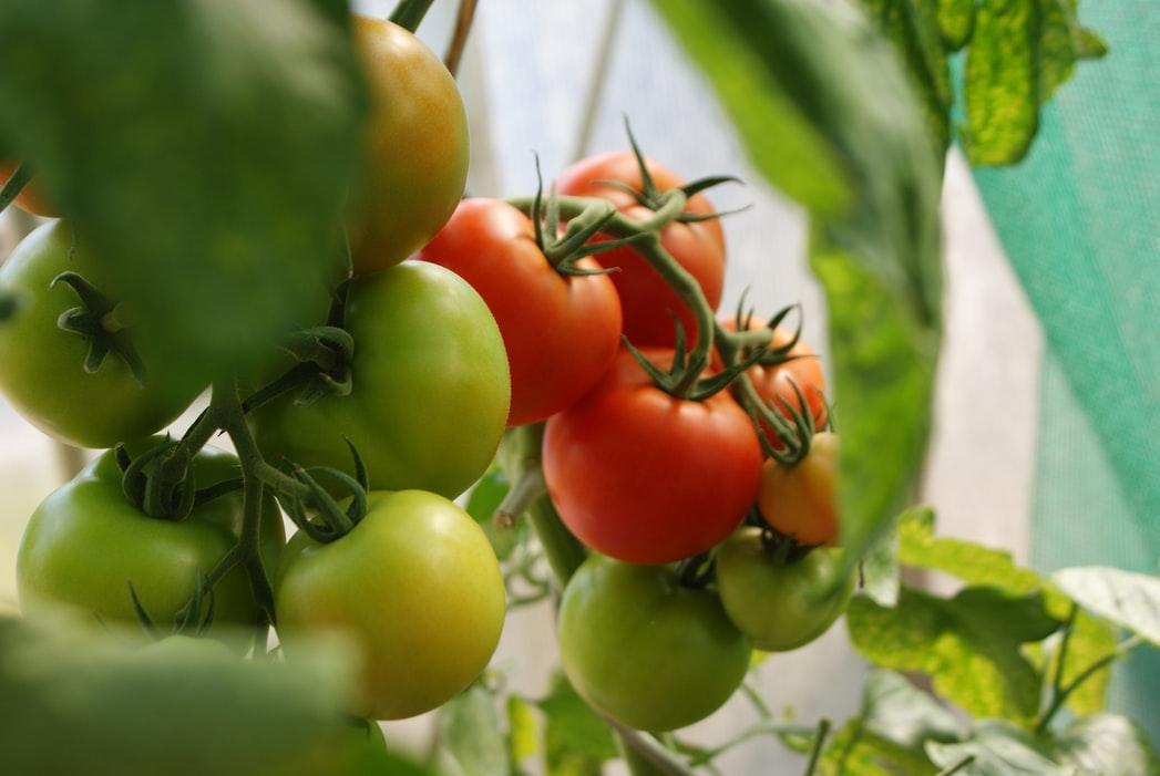 Welche Erde für Tomaten? Tomatenerde mischen für das Gemüsebeet
