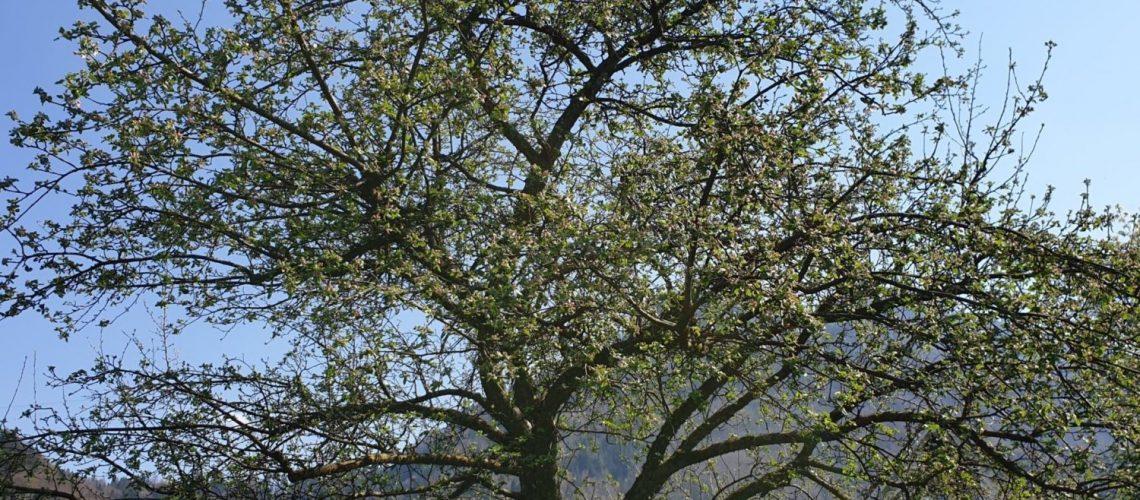 Hoehe Groesse Apfelbaum - wie hoch wird apfelbaum