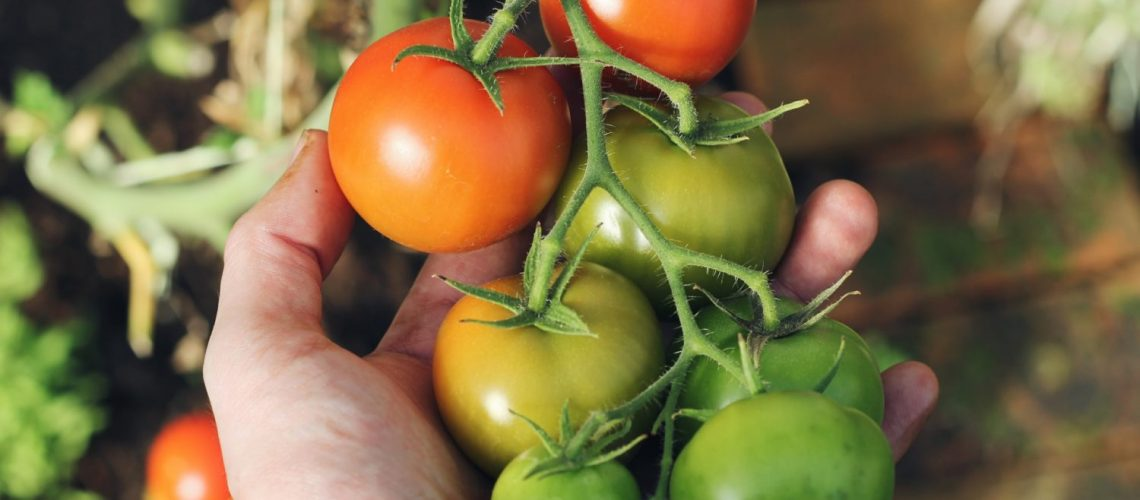 Optimale_standort_fuer_tomaten_up