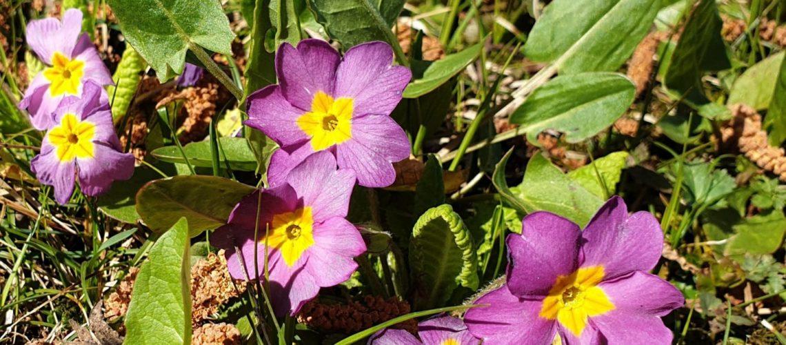 Primeln-pflanzen-saat-im-garten-fruehlingsblume-bunt-GARTA
