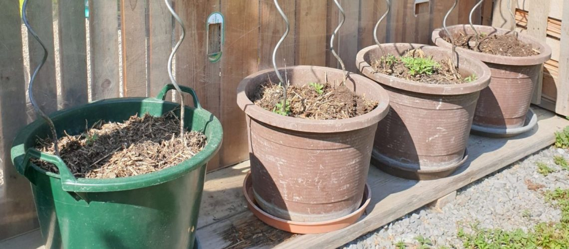 Tomaten anpflanzen
