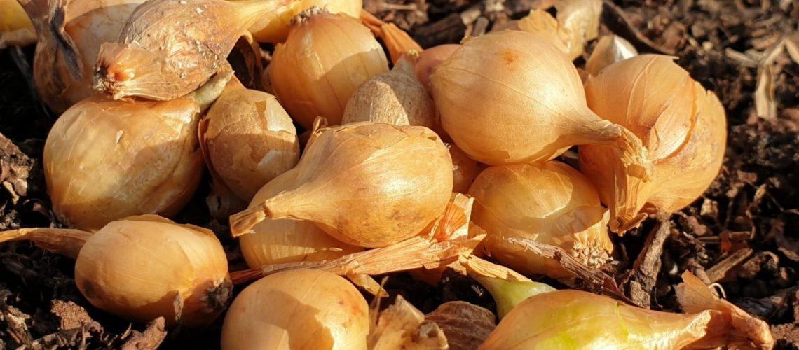 Zwiebeln pflanzen - Stecklinge richtig setzen