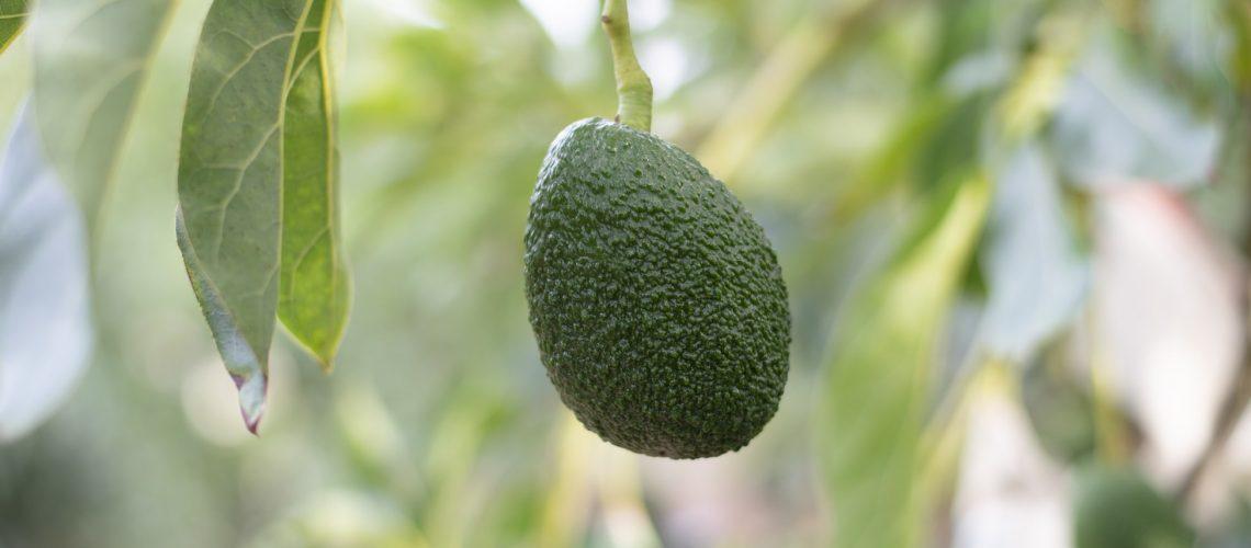 avocado-selber-pflanzen