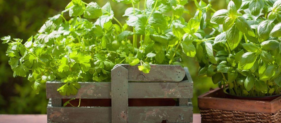 basilikum balkon pflanzen