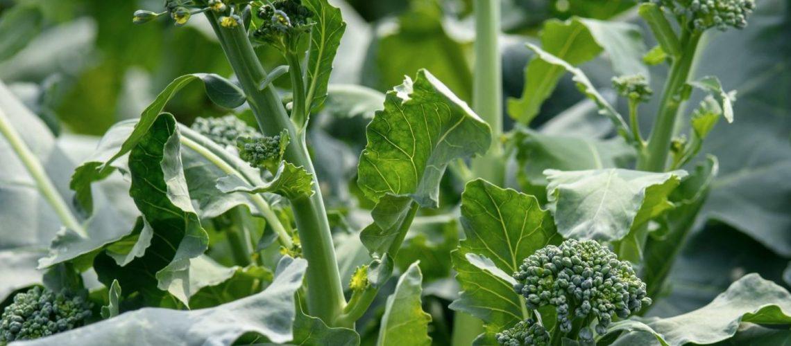 brokkoli im garten pflanzen