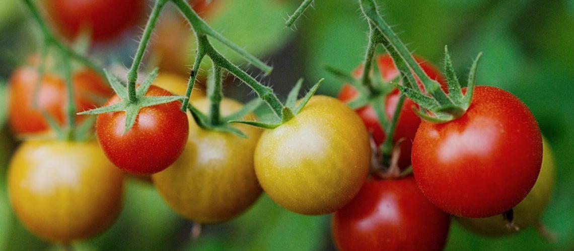 cherrytomaten selber pflanzen