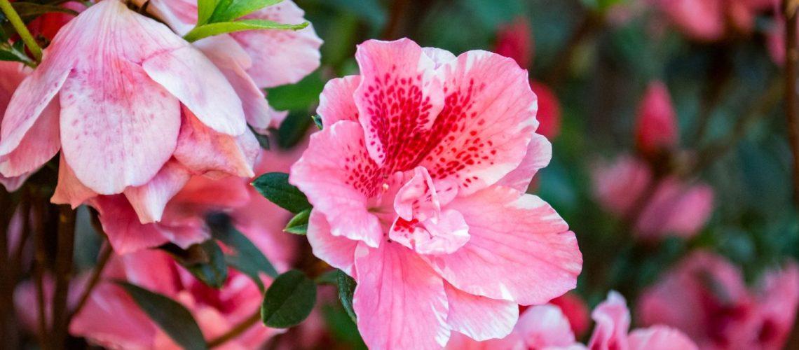 hibiskus pflanze tipps