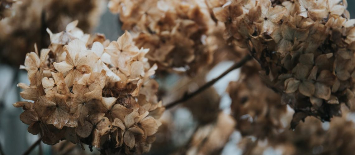 hortensie ist ausgetrocknet und blueht nicht - wie bekämpfen