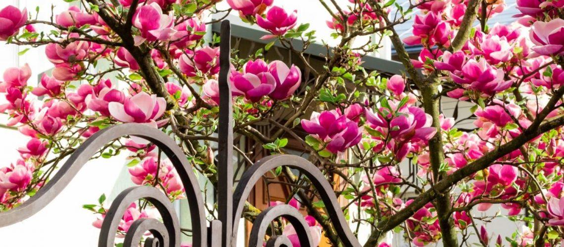 magnolie-wie-hoch-wird-sie-up