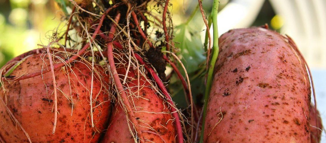 suesskartoffeln_richtig_ernten_pb