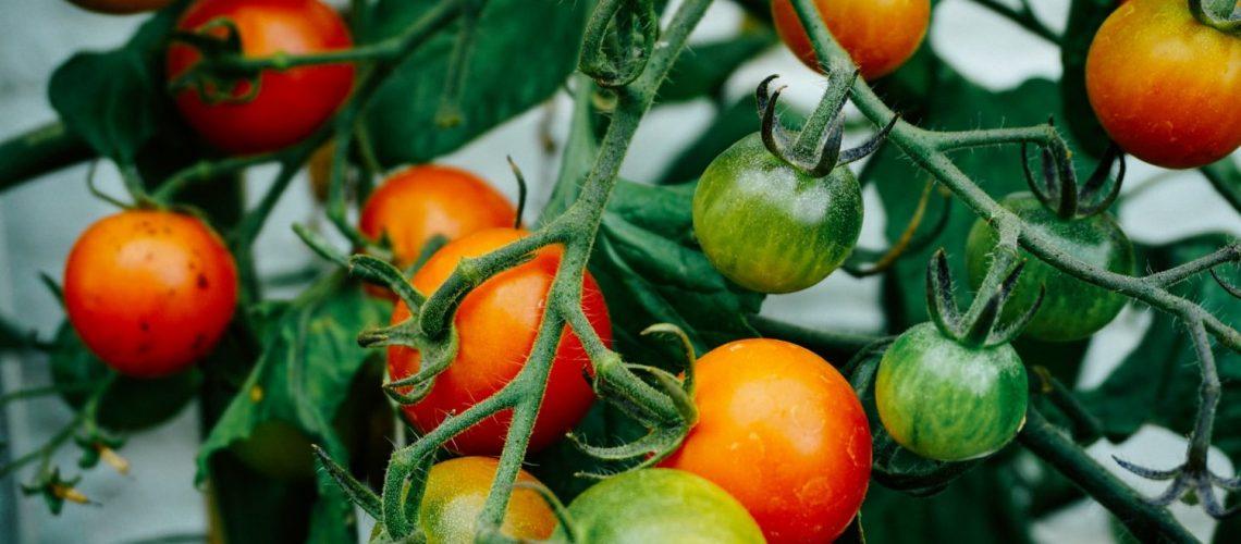 Welche Erde für die Tomaten verwenden?