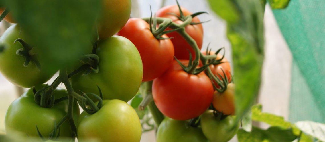 wann_und_wie_oft_tomaten_wasser_giessen_up