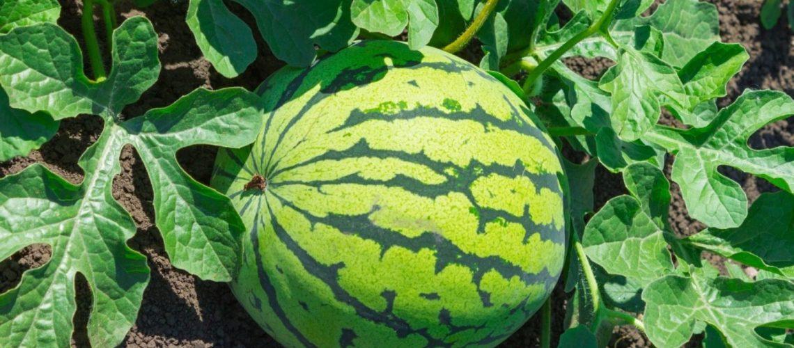 wassermelone im garten pflanzen