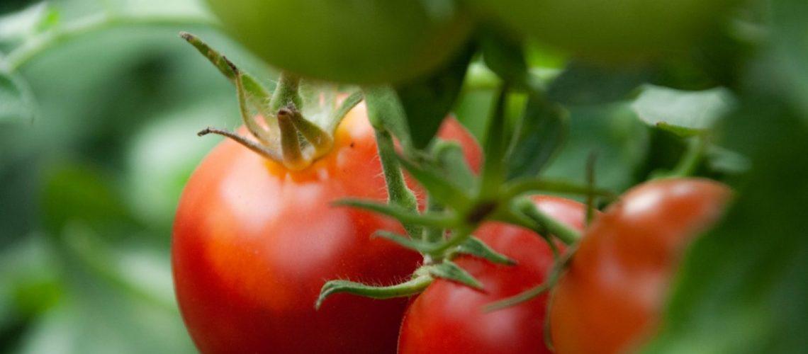 zeitpunkt_um_tomaten_duengen_up
